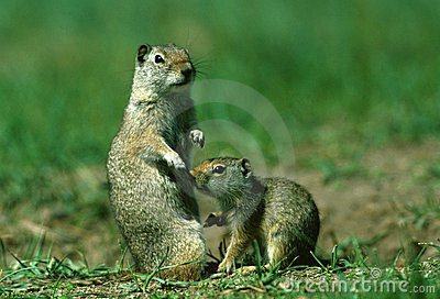 Uinta Ground Squirrel Female and Baby