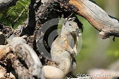 Uinta Ground Squirrel, Spermophilus armatus
