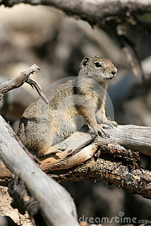 Uinta Ground Squirrel, Spermophilus armatus