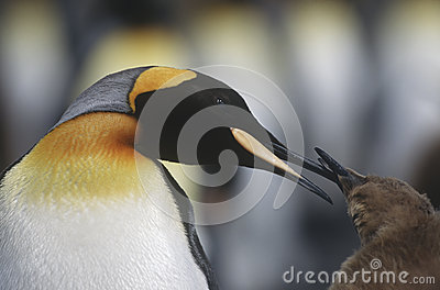 UK South Georgia Island King Penguin feeding chick close up