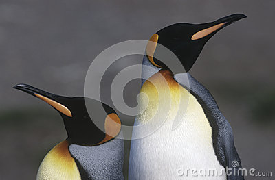 UK South Georgia Island two King Penguins standing side by side close up