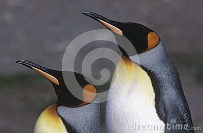 UK South Georgia Island two King Penguins standing side by side close up side view