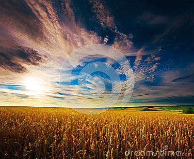 Ukrainian field of wheat on the blue sky