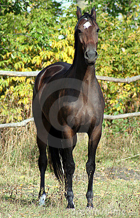 Ukrainian horse breed