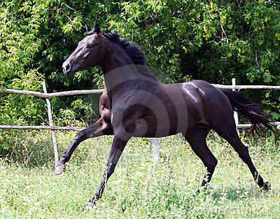 Ukrainian horse breed