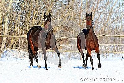 Ukrainian horse breed horses