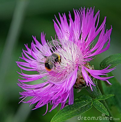 Free Ultra Violet World Of A Bumble Bee Stock Photography - 111659052