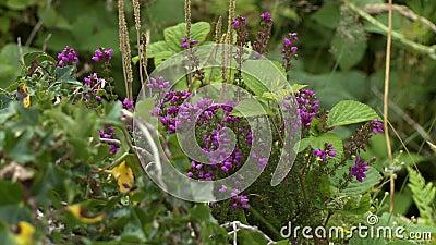 Um arbusto de lilás púrpura vídeos de arquivo