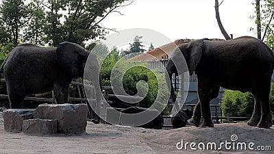 Um belo elefante no zoológico Elefantes em um açari vídeos de arquivo
