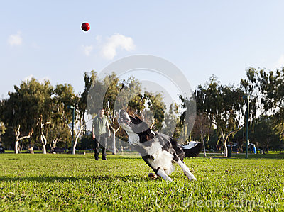 Cão de border collie que busca a bola no parque