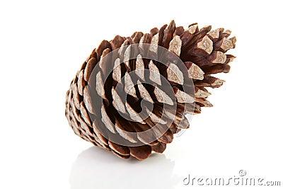 Um cone do pinho