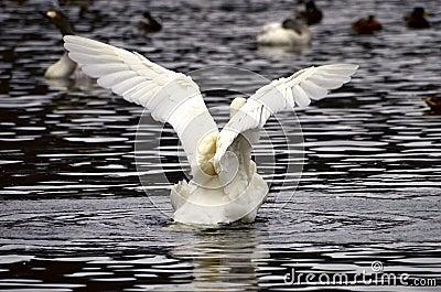 Um flapping da cisne