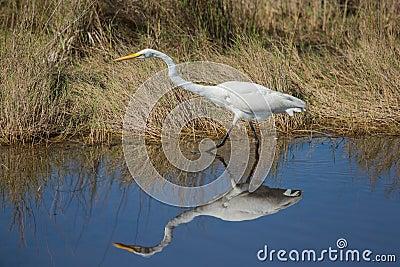 Um grande Egret determinado
