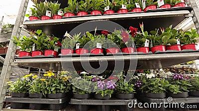 Um homem atravessa um armazém com flores florescentes, um grande armazém de estufa para cultivar flores video estoque