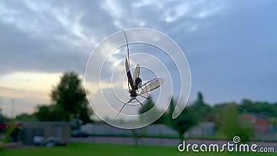 Um inseto está preso numa teia de aranhas e é atacado por uma aranha vídeos de arquivo