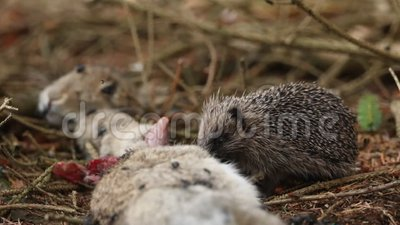 Um jovem Hedgehog Erinaceidae que se alimenta da carcaça de um coelho selvagem filme