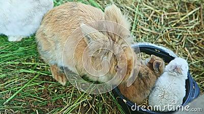Um marrom adulto e dois coelhos pequenos comem sementes de aveia filme