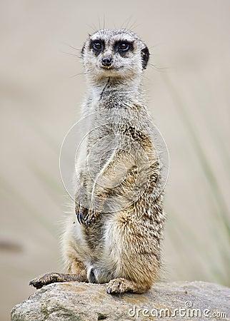 Um meerkat que está ereto
