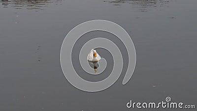 Um pássaro-d-água pássaro-do-mar, gansos-do-mar, Anatidae ou aves-d-água Passando família nadando e flutuando na água do lago filme