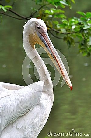 Um pelicano branco ao lado da água
