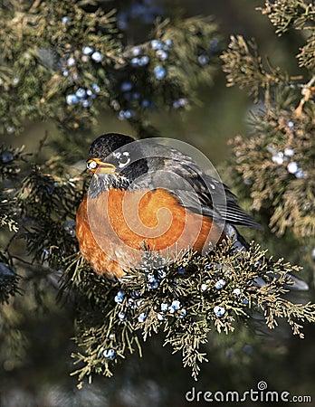 Pisco de peito vermelho americano (migratorius do Turdus)