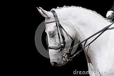 Um retrato do cavalo cinzento do dressage isolado