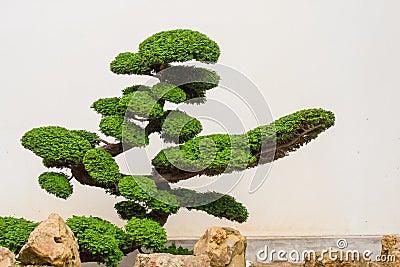 Uma árvore bonita dos bonsais com rochas