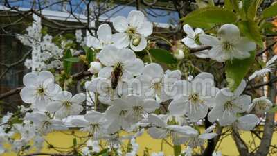 Uma abelha voa da flor para florescer e recolhe o néctar video estoque