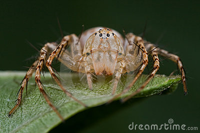 Uma aranha do lince