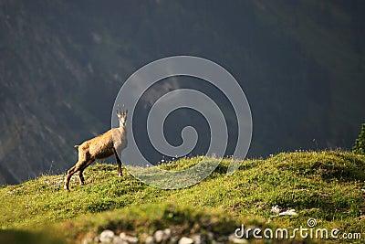 Uma cabra-montesa
