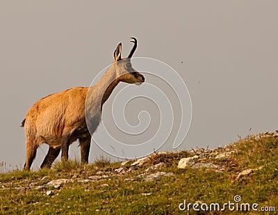 Uma cabra-montesa em um prado alpino