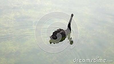 Uma cisne preta