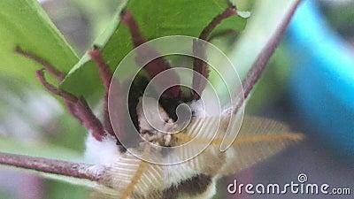 Uma mariposa com antenas grandes em folhas verdes filme