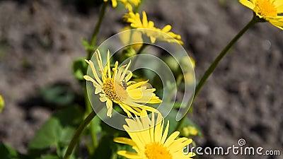 Uma mosca coleta néctar de uma flor de dandelion, Flores Doronicum no jardim, Arnica, Bumblebee filme