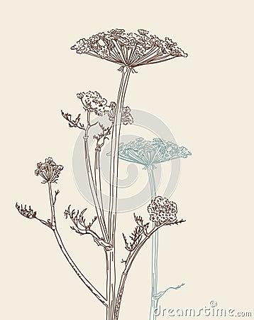 Umbellate plant