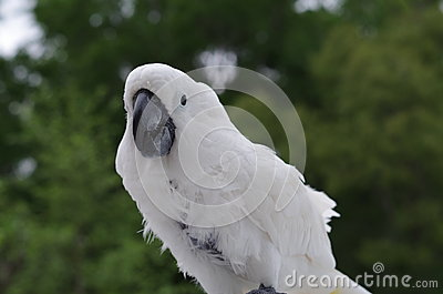 Umbrella Cockatoo In The Wild Stock Photo - Image: 57962724