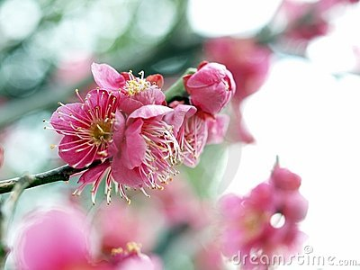 Ume Blossom Royalty Free Stock Photo - Image: 17999395
