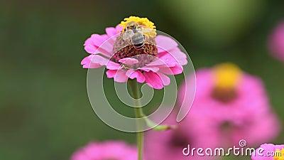 Un'ape su un fiore rosa raccoglie il polline per il miele Zinnia elegans chiamata zinnia comune o zinnia elegante Ripresa del vol stock footage