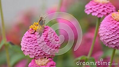 Un'ape su un fiore rosa raccoglie il polline per il miele Zinnia elegans chiamata zinnia comune o zinnia elegante Ripresa del vol archivi video