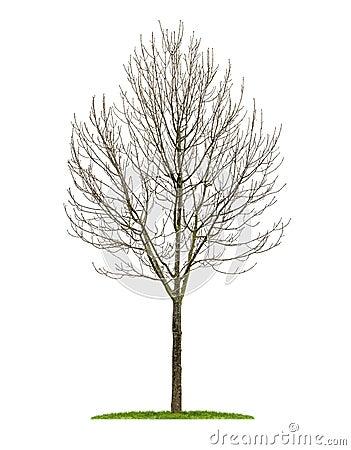 Un arbre feuilles caduques d 39 isolement pendant l 39 hiver - Arbres a feuilles caduques ...