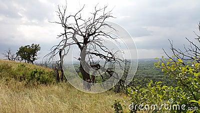 Un arbre mort sec isolé sur le flanc de coteau Branchements tordus L'arbre est mort du manque de l'eau ou de foudre Coucher du so banque de vidéos