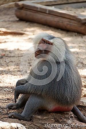 Un babouin de regard