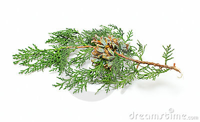Un brunch del cono del pino