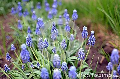 Un champ de belles fleurs bleues.