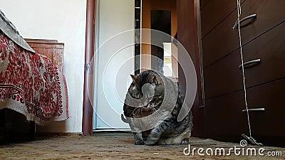Un chat malade très gros dans de la vieille la salle grand-mère se trouve sur le plancher de ses côtés épais banque de vidéos