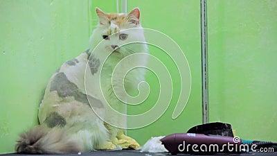 Un chat rasé triste se repose sur une table banque de vidéos