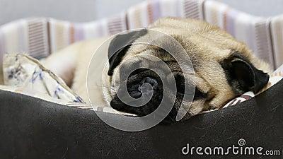 Un chien de pug fatigué et paresseux s'endort, allongé dans le lit du chien, se reposant à la maison banque de vidéos