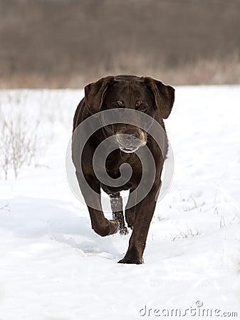 Chocolat labrador retriever