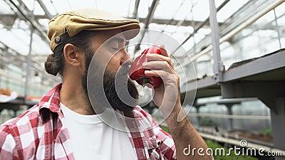 Un coltivatore ispirato che annusa pepe fresco, fiero del raccolto vegetale, dell'agricoltura stock footage