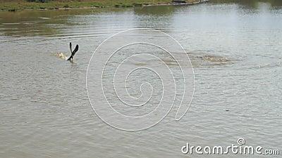Un crocodile affamé attrape un oiseau sur la surface des eaux du lac banque de vidéos